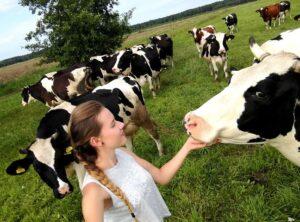 alicja krowy pole hodowla